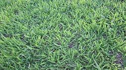 grama batatais em Carandaí