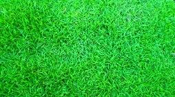 grama coreana em Santa Tereza do Oeste